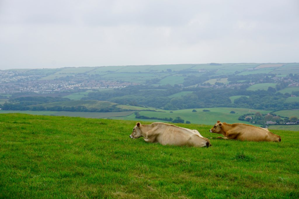 from-corfe-to-swanage-via-harrys-rocks-cows